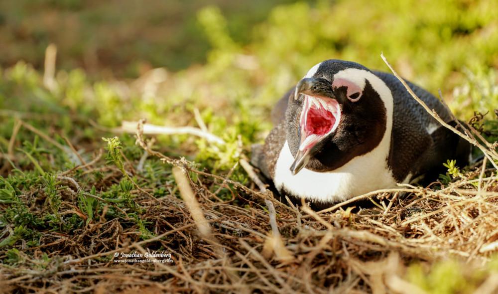 African penguin (Spheniscus demersus) - tomia
