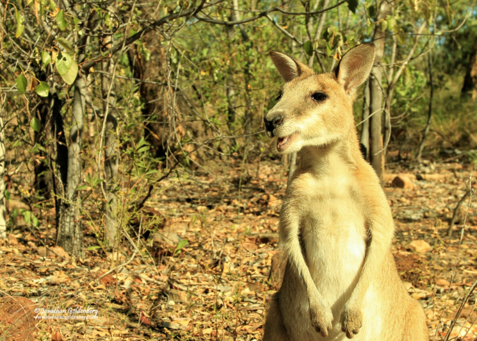 Agile wallaby (Macropus agilis)