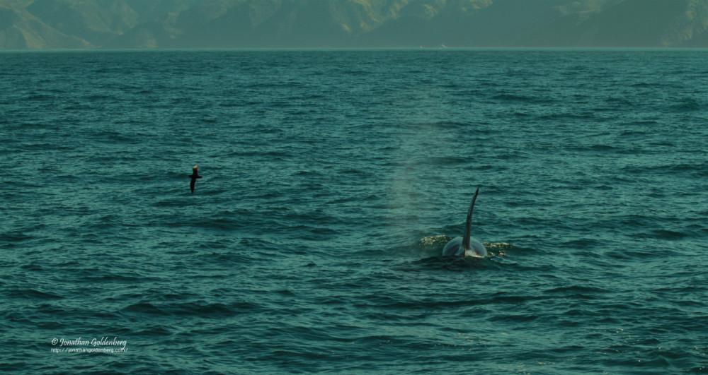 Albatross-Orca