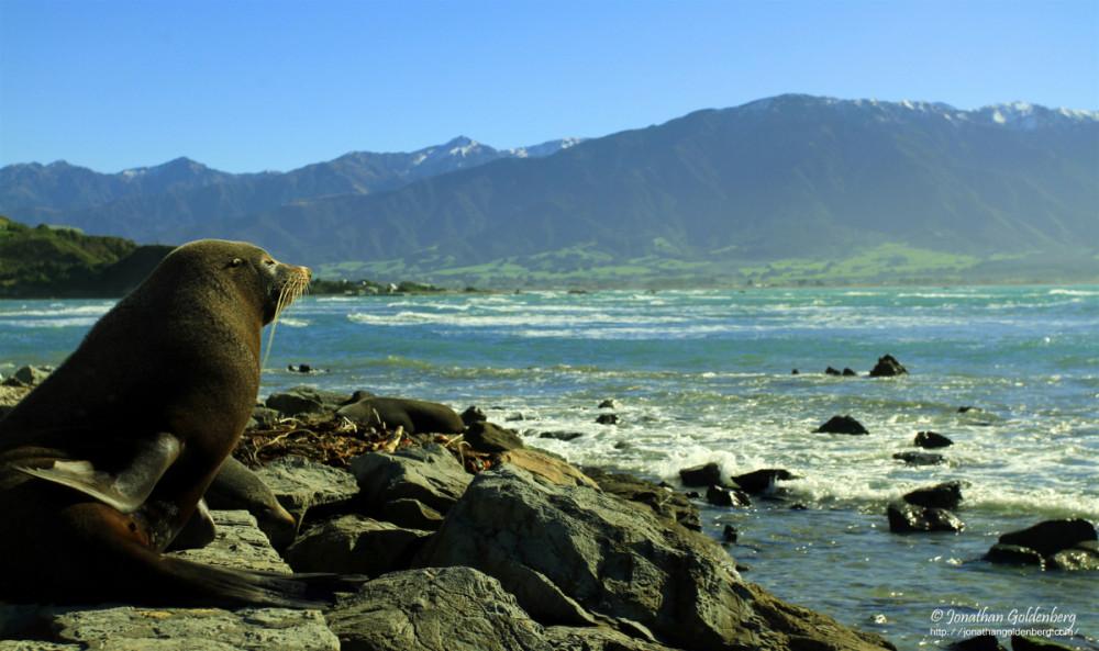 Fur seal (Arctocephalus forsteri)