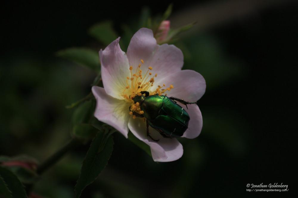 Coleoptera - Cetoniidae