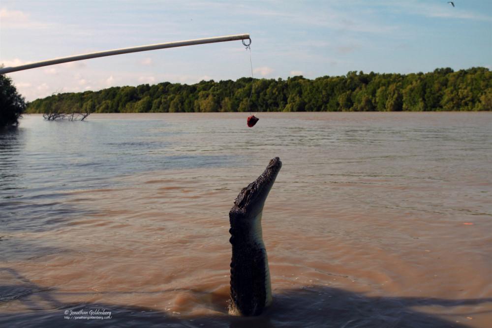 Saltwater crocodile (Crocodylus porosus)
