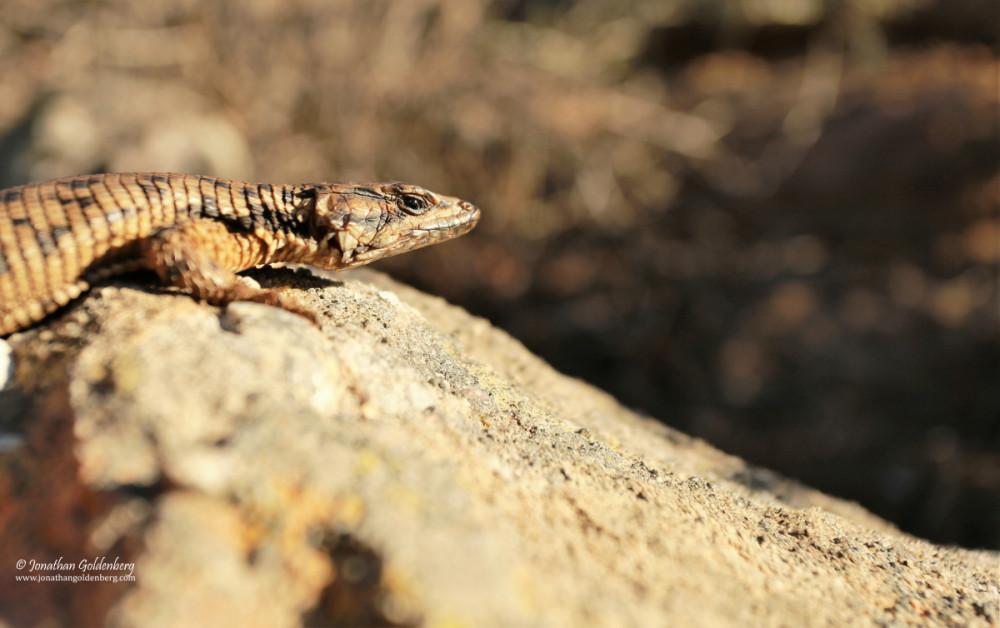 Karoo girdled lizard (Karusasaurus polyzonus)