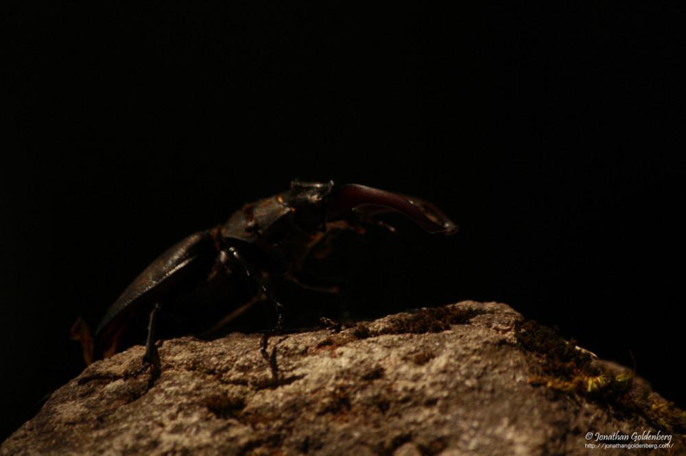 Coleoptera - Lucanidae