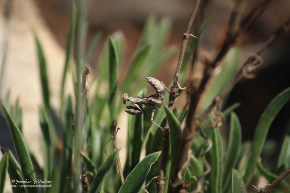 Mantodea - Mantidae
