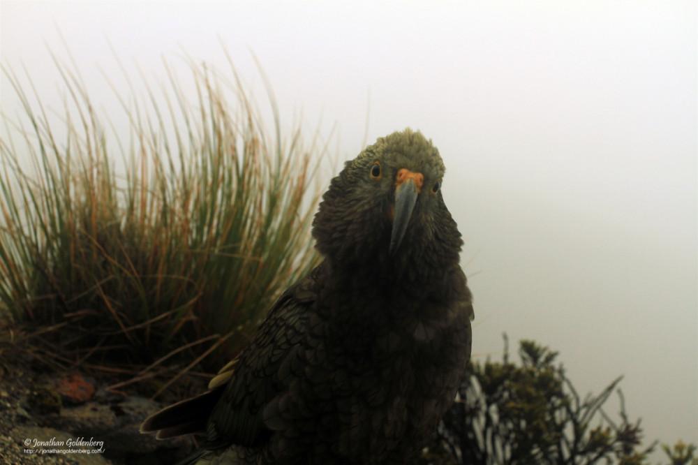 Kea (Nestor notabilis)