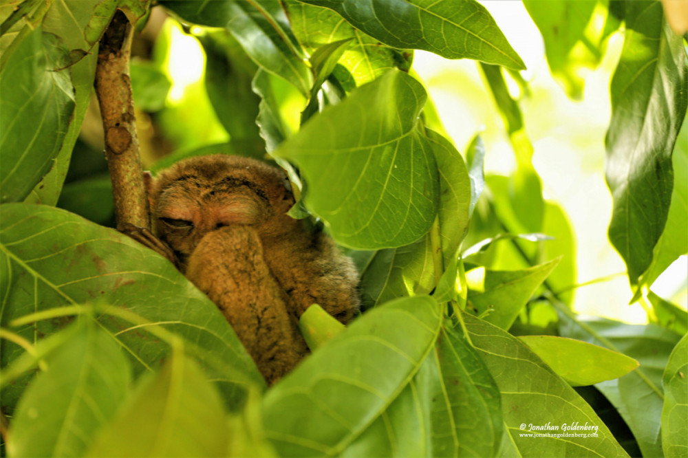 Philippine tarsier (Carlito syrichta)