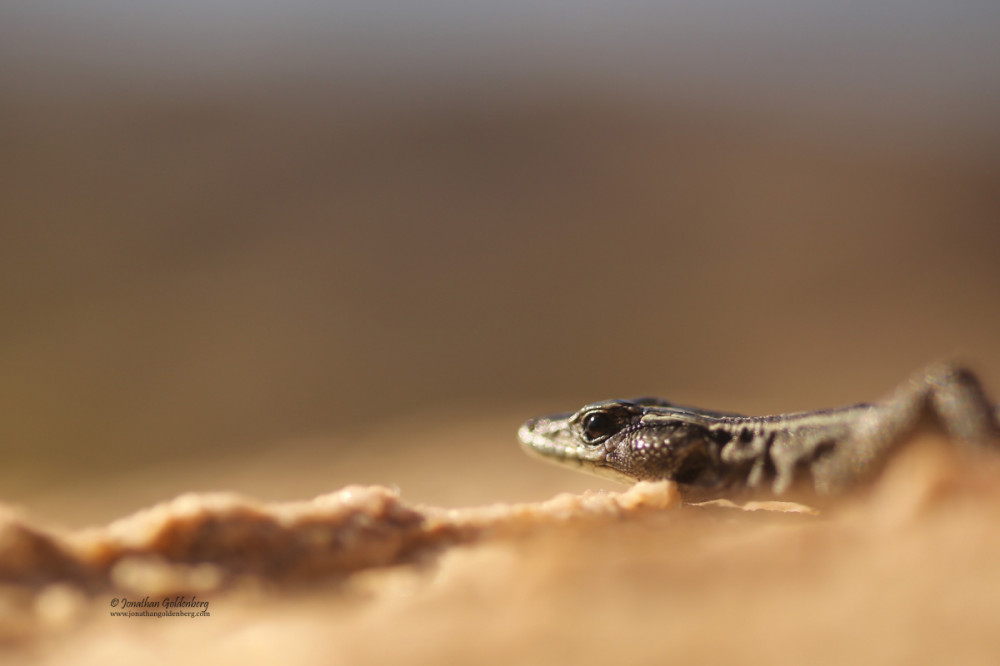 Augrabies Flat Lizard (Platysaurus broadleyi)