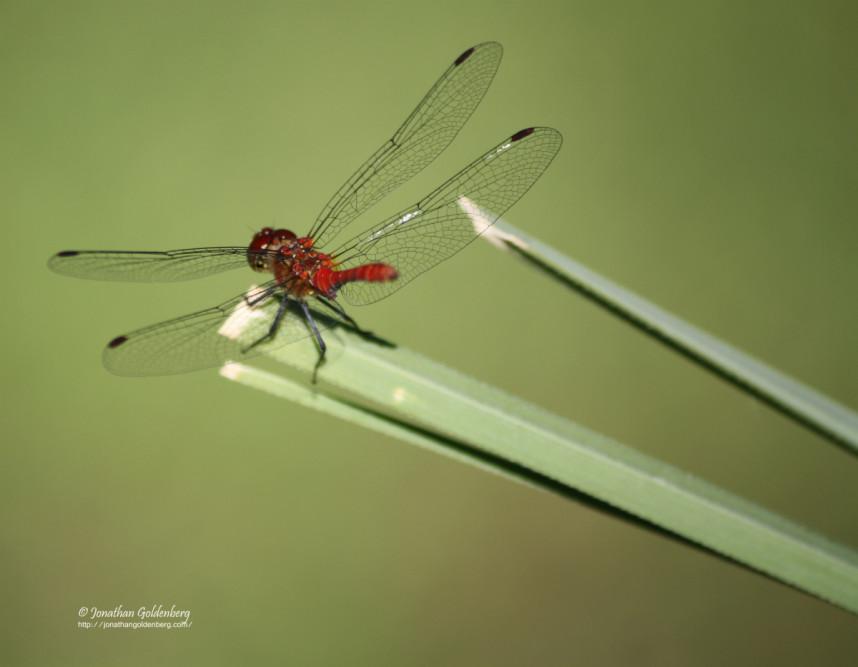 Odonata - Libellulidae (Sympetrum sanguineum)