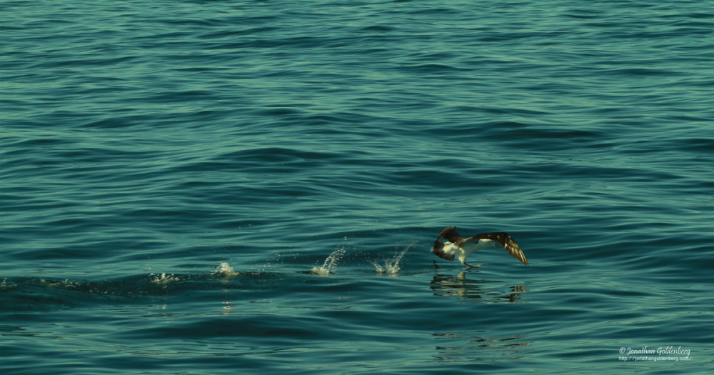 Albatross (Thalassarche melanophris)